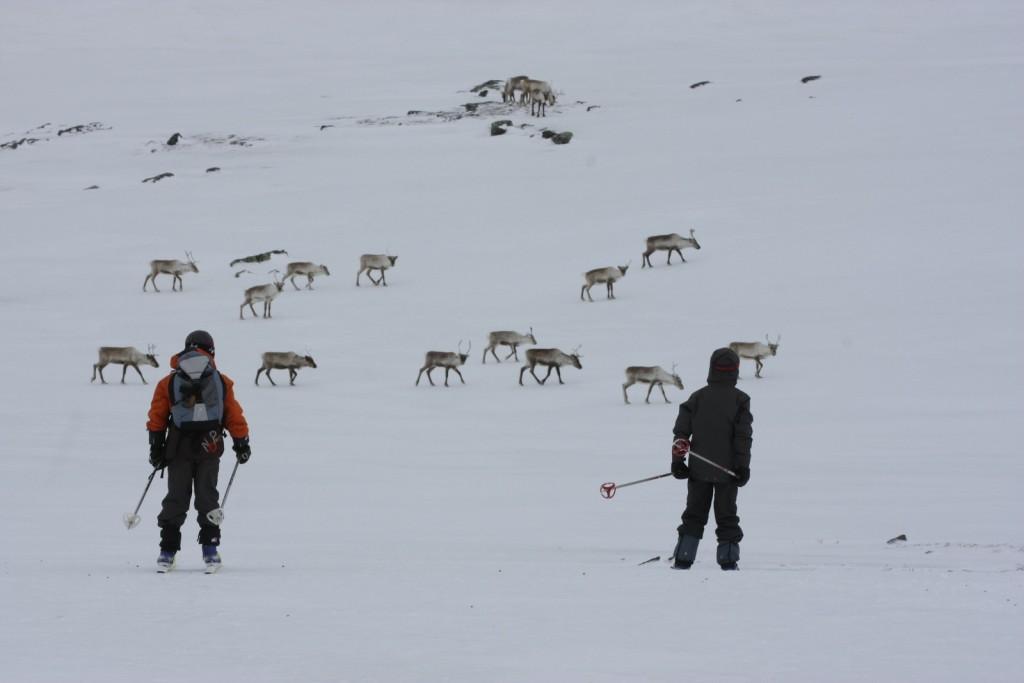 Ski au milieu des rennes en Laponie suédoise